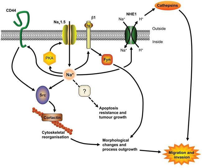 A model for Nav1.5 involvement in tumor progression.