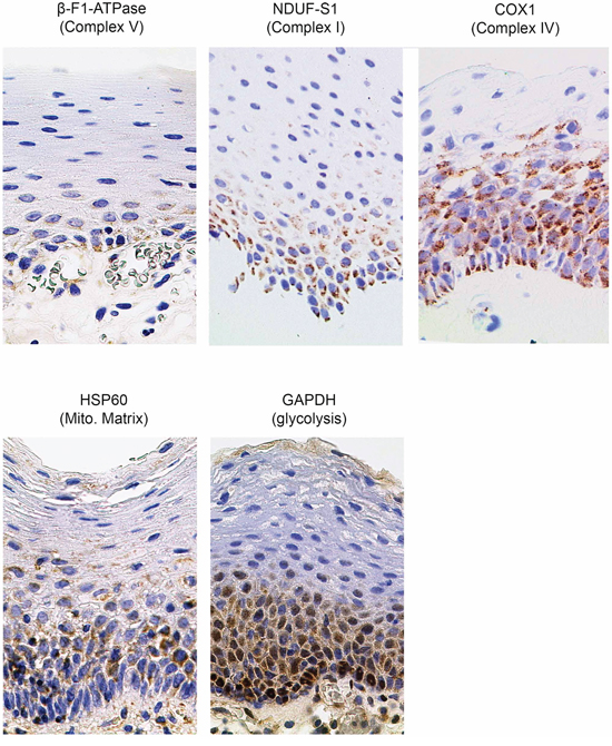 Immunohistochemical stainings in normal human mucosa for marker proteins quantified in this study (magnification x1000). Mito. Matrix = Mitochondrial Matrix.