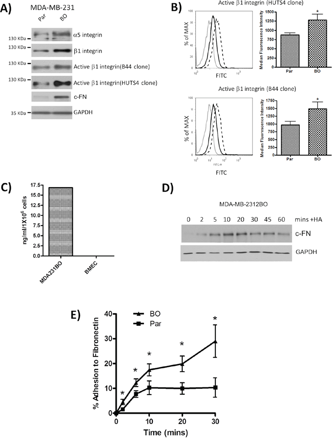Characterization of bone-tropic metastatic breast cancer cells and their adhesion to Fibronectin.