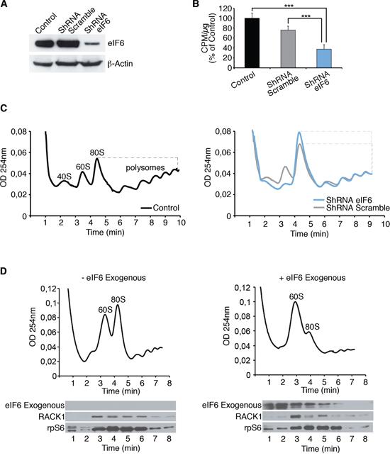 eIF6 antiassociation activity modulates the inititiation of translation of REN cells.