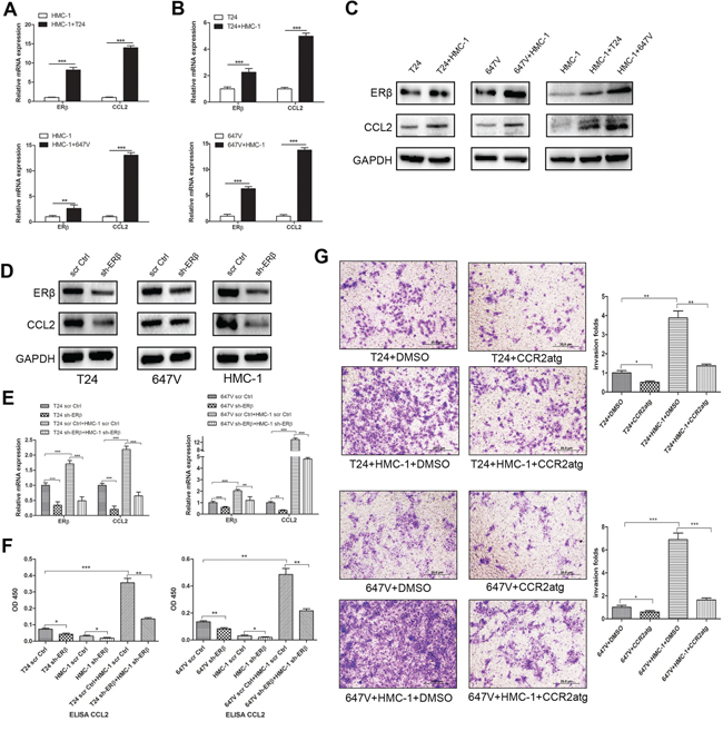 Recruited mast cells could increase ERβ and consequently up-regulate CCL2 signaling.