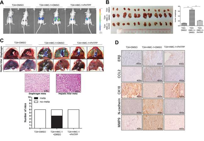 Mast cells promoted BCa metastasis via up-regulating ERβ/CCL2/CCR2/EMT/MMP9 signals in vivo.