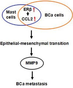 Cartoon illustration of mast cells-enhanced BCa invasion via increasing ERβ/CCL2/EMT/MMP9 signals in the tumor microenvironment. The red arrows indicate an increase in the ERβ and CCL2.