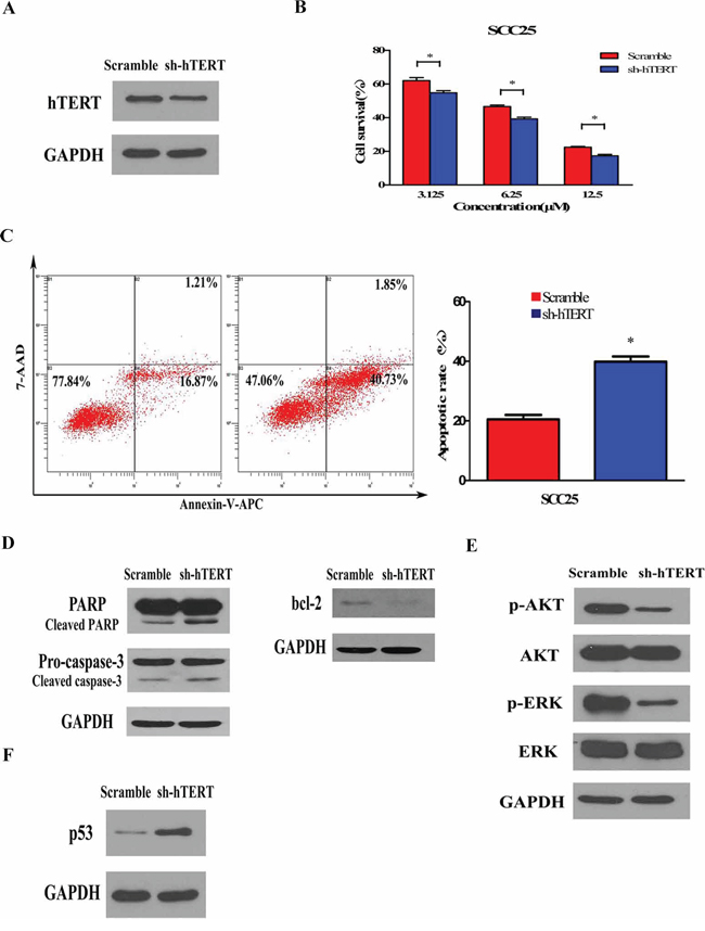Silencing endogenous hTERT expression sensitizes cancer cells to chemotherapy and inhibited AKT/ERK signaling pathways.