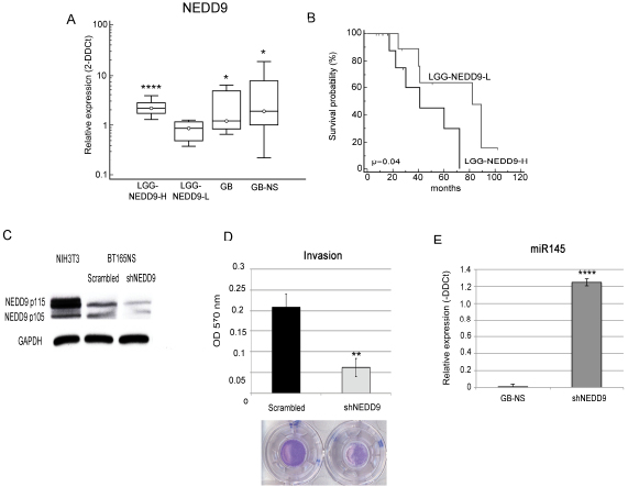 NEDD9 expression is associated to glioma survival and invasion.