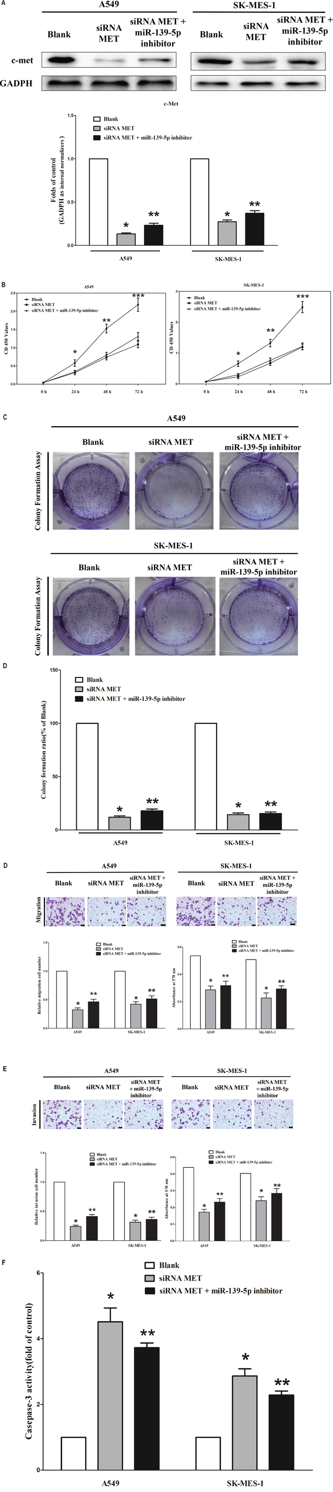 Silence of MET expression inhibits lung cancer cell growth, migration, invasion and apoptosis.
