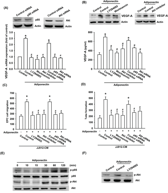 PI3K/Akt pathway is involved in adiponectin-increased VEGF-A expression.