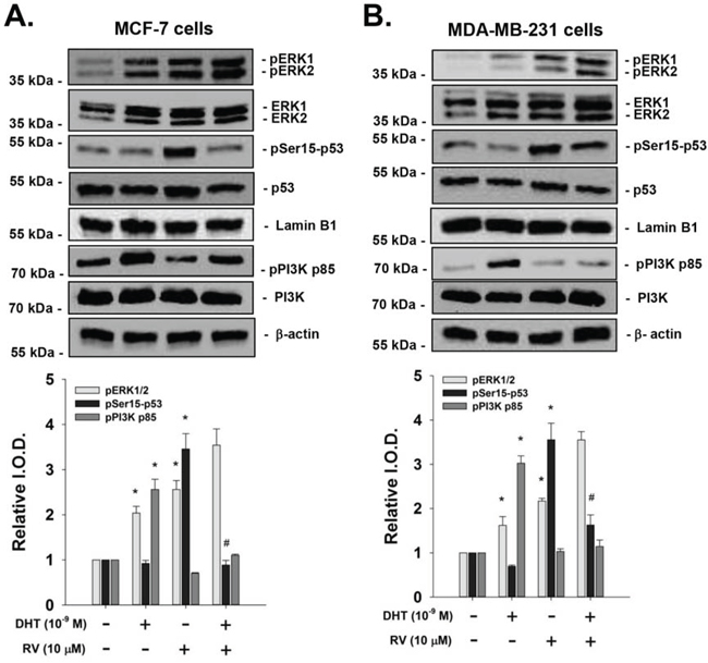 Effect of DHT on resveratrol-induced p53 phosphorylation in breast cancer cells.
