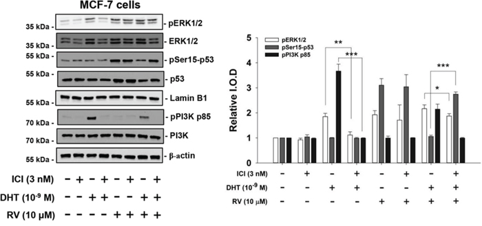 ICI 182,780 (ICI) inhibits the effects of DHT on resveratrol-induced activation of ERK1/2 and p53 in MCF-7 cells.