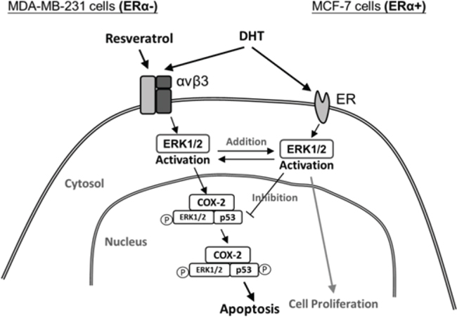 Signal transduction pathways involved in resveratrol-induced apoptosis and in inhibitory effects of DHT on actions of resveratrol in ER-α-positive and negative breast cancer cells.