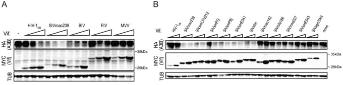 SIVmac239 Vif efficiently degrades huA3B.