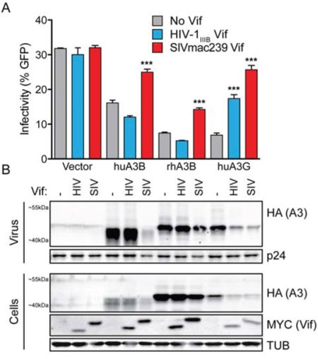 SIVmac239 Vif efficiently counteracts huA3B-mediated restriction of HIV-1.