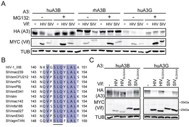 SIVmac239 Vif degradation of huA3B is analogous to HIV-1IIIB Vif degradation of huA3G.