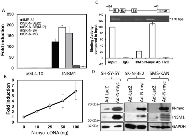 N-myc interacted with the E2-box region in the INSM1 promoter and activated endogenous INSM1 expression in NB cells.