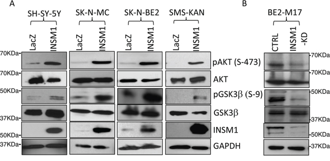 INSM1 activated PI3K/AKT/GSK3β signaling pathways.
