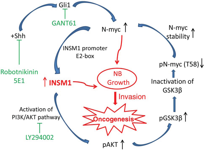 A model summarizing the INSM1 and N-myc positive-feedback loop that enhances NB cell growth, invasion, and oncogenesis.