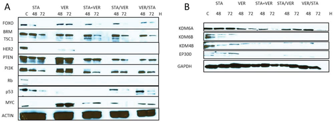 Expression of oncogenic signaling proteins when cells are treated with HSP inhibitors.