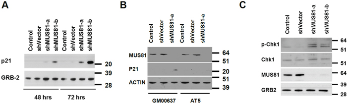 A checkpoint activation is seen in MUS81-depleted cells.