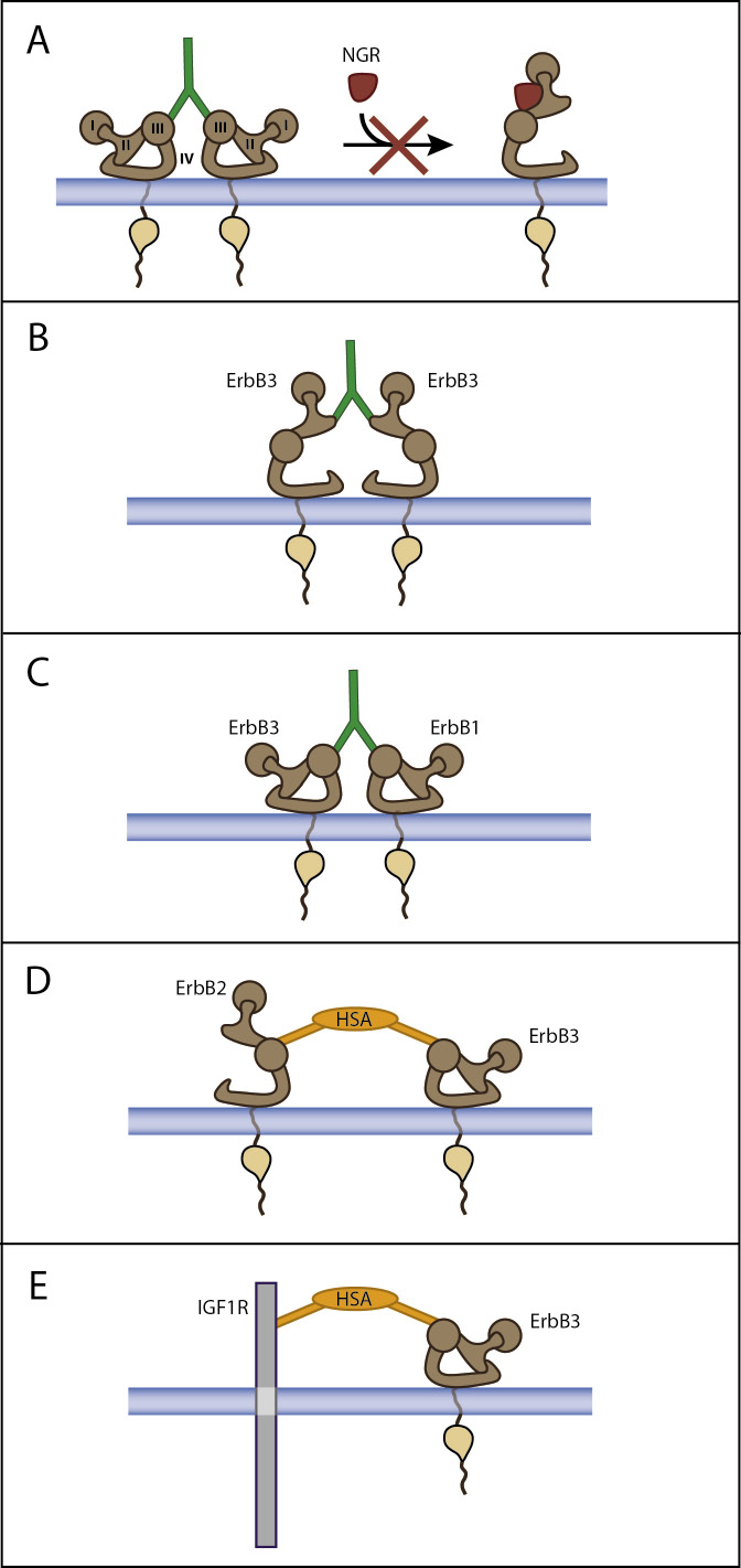 Mode of action of monospecific and dual specificity anti-ErbB3 antibodies.