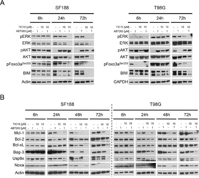 Combined treatment with ABT263 and TIC10/ONC201 yields down-regulation of ERK signaling as well as of the Mcl-1/Bag3/Usp9X network.