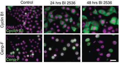 BI 2536 blocks cells in late G2.