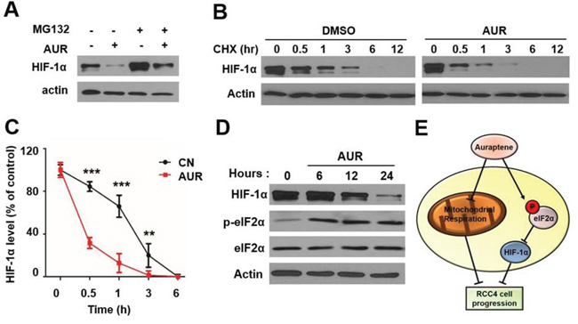 Auraptene significantly decreases HIF-1α protein through translational inhibition.