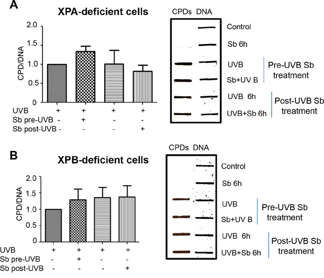 Silibinin-activated DNA repair effect is lost in XPA and XPB deficient human dermal fibroblasts.