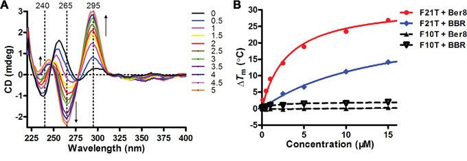 Induction and stabilization of telomeric G-quadruplex DNA by Ber8 in vitro.