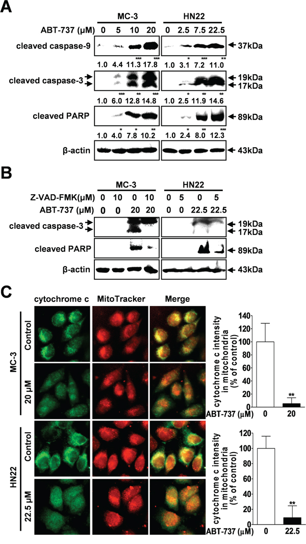 Effect of ABT-737 on caspase-mediated apoptosis in human oral cancer cells.