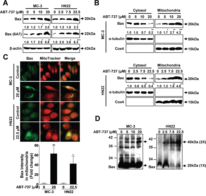 ABT-737 induces mitochondrial-dependent apoptosis through Bax.