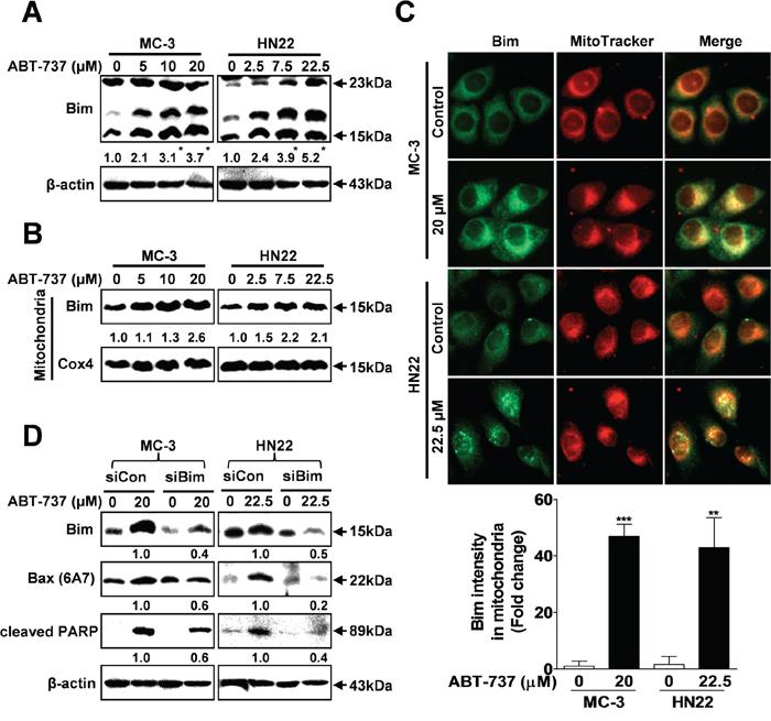 ABT-737 induces Bax-dependent apoptotic cell death via Bim activation.