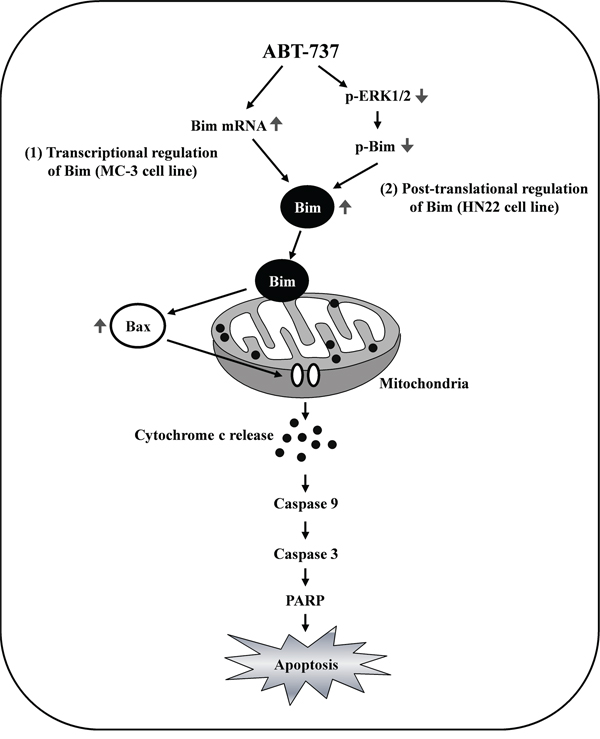 Schematic summary of the effects of ABT-737 on human oral cancer cells.