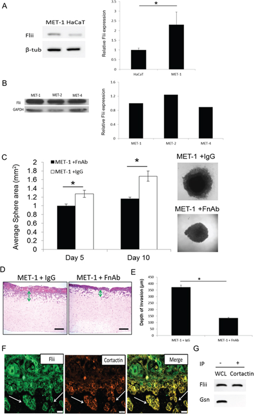 Reducing Flii expression using FnAb reduces sphere formation and invasion properties of SCC keratinocytes in-vitro.