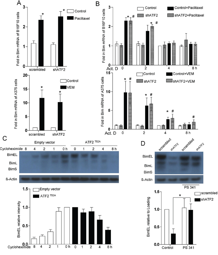 Bim protein stabilization is regulated by ATF2.