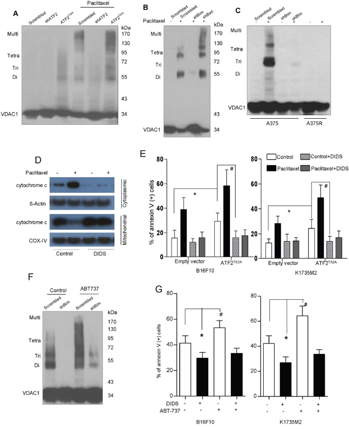 Bim triggers mitochondrial VDAC upregulation and dimerization, Cytochrome c release and apoptosis.
