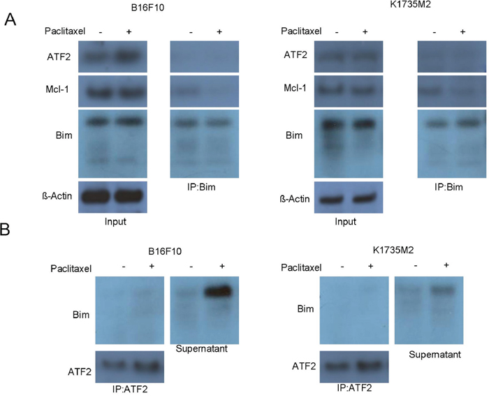Mitochondrial ATF2 does not directly bind to Bim following paclitaxel treatment.