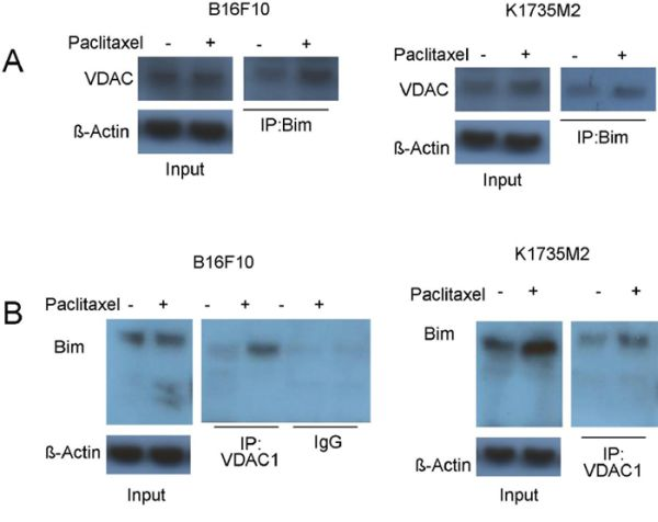 Mitochondrial ATF2 facilitates the association of Bim with VDAC1 following paclitaxel treatment.