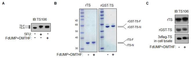 TS modification in vitro.