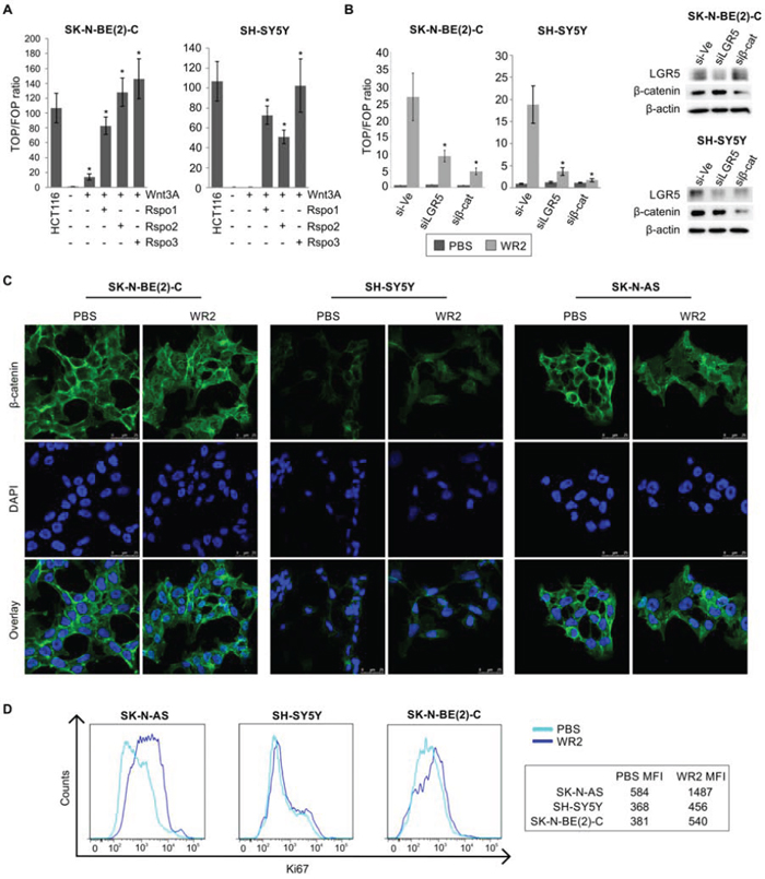 Wnt3a and R-spondin responsiveness of neuroblastoma cell lines.