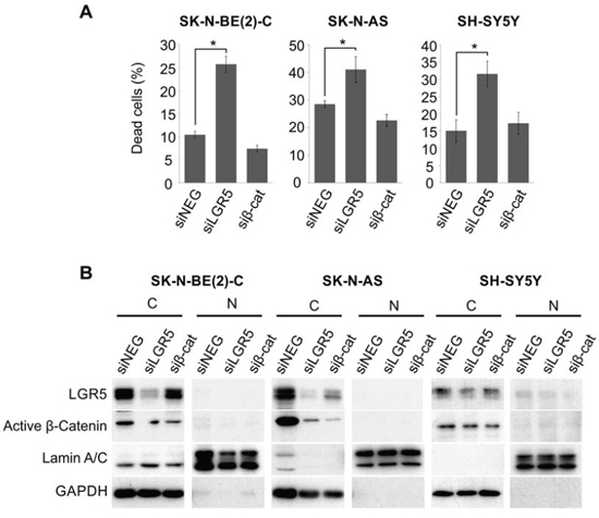 LGR5 knockdown-induced cell death is independent of Wnt/β-catenin signalling pathway.