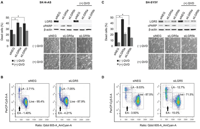 Depletion of LGR5 induces apoptosis in neuroblastoma cells.
