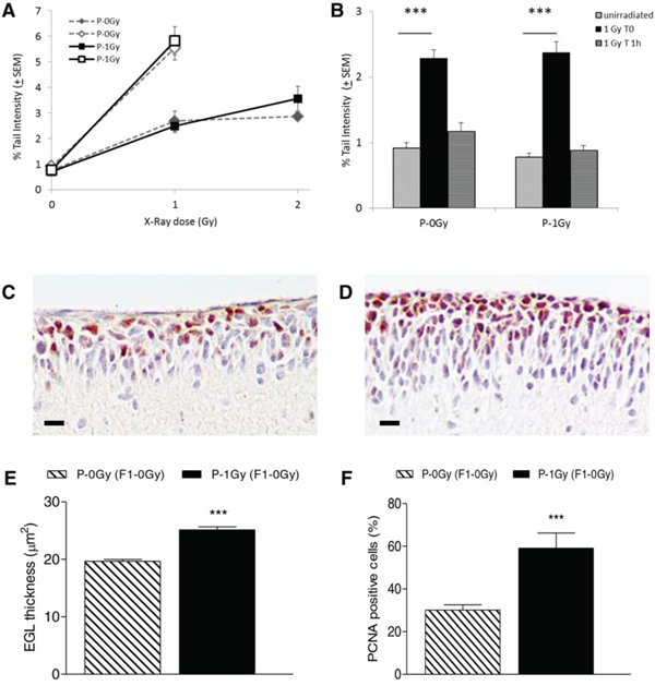 Comet assay and immunohistochemistry results in cerebellum cells from P2 mice.