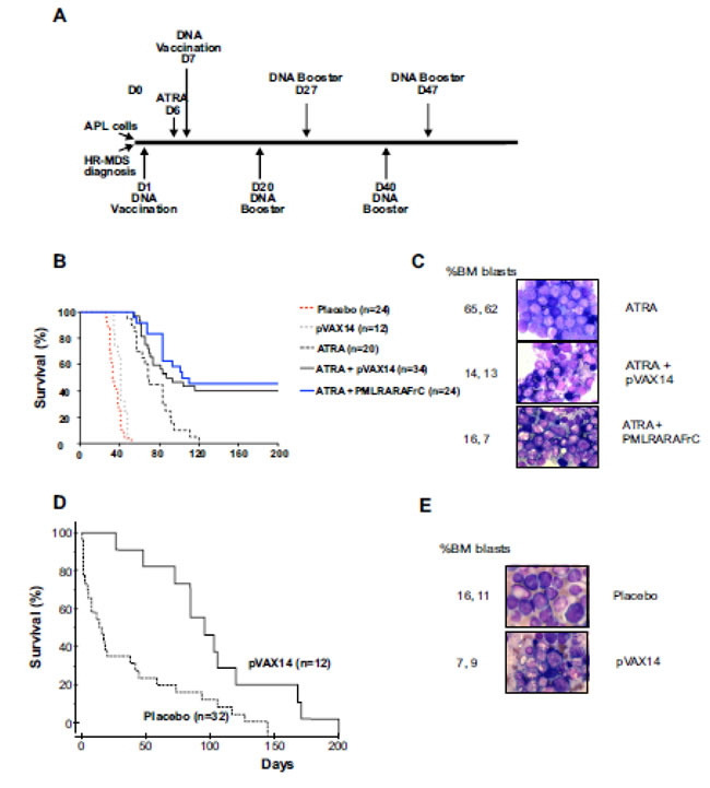 Increased survival of APL and HR-MDS mice by pVAX14.