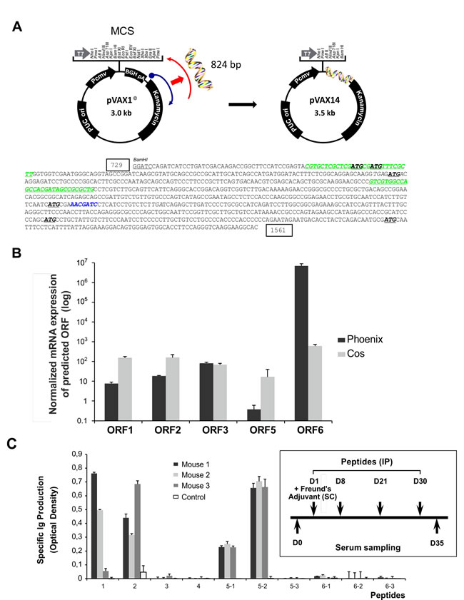 Cloning and characterization of pVAX14.