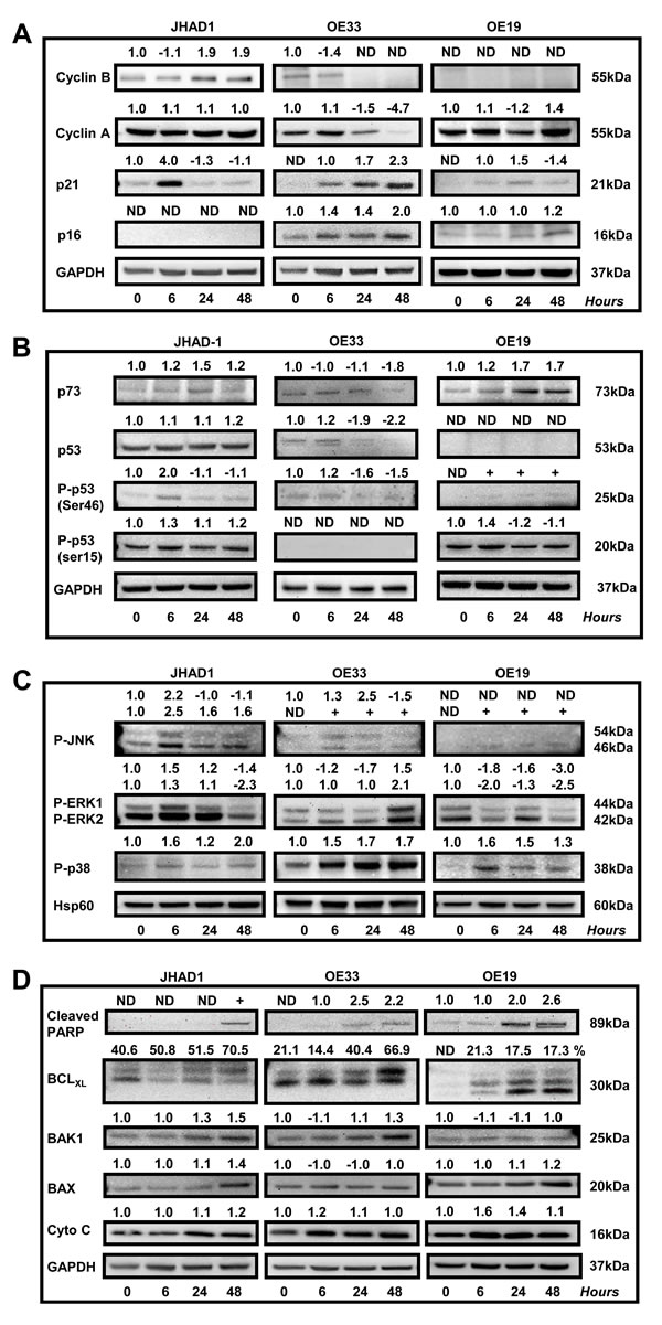 Effect of C-PAC on cell-cycle, P53, PI3K/AKT/mTOR, p38/MAPK and cell-death associated proteins in EAC cell lines.