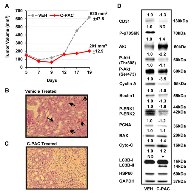 Effect of C-PAC treatment on OE19 xenografts in athymic NU/NU mice.