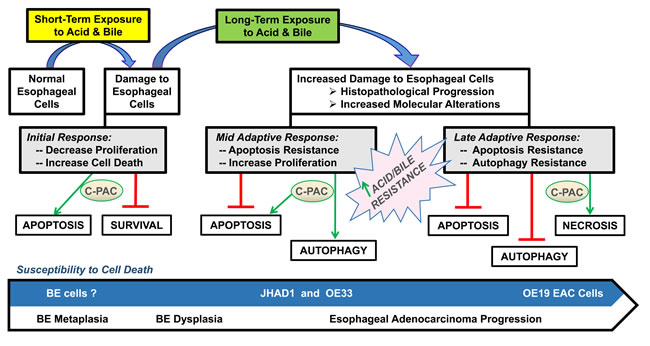 Proposed model for C-PAC induced cell death in EAC cell lines.