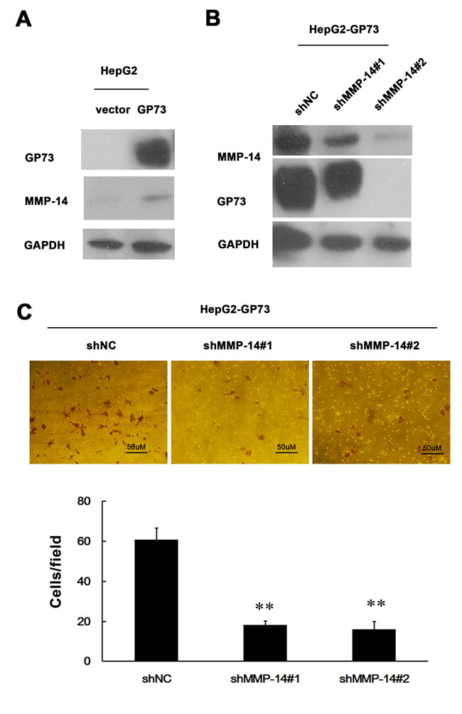 MMP-14 is an effector of GP73 enhanced invasion of HCC cells.