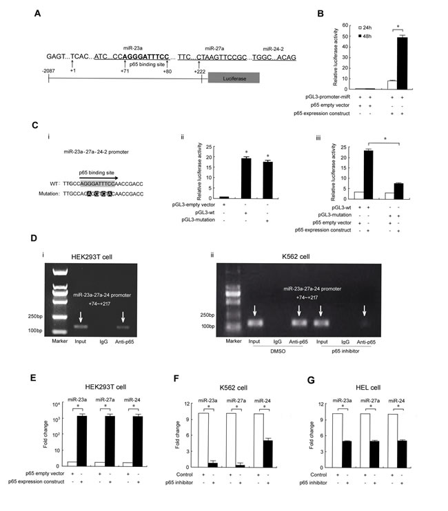 p65 binds to the miR-23a-27a-24 cluster promoter to upregulate expression.