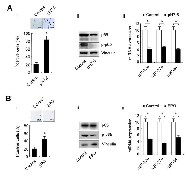 Changes in p65 and miRNAs during K562 cell differentiation.